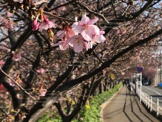 河津桜の歩道 - No.996576