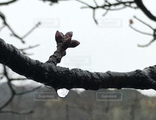 雨の桜のつぼみ - No.1000579