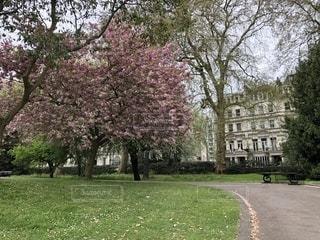 ハイドパークの桜の写真・画像素材[1150905]