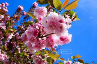 桃の花の写真・画像素材[954966]