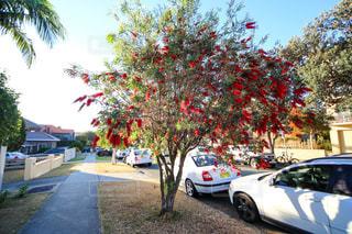 オーストラリアの樹木の写真・画像素材[955487]