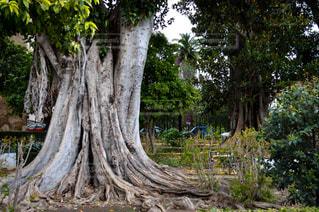 森の大きな木の写真・画像素材[955518]