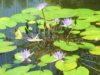 蓮の花の写真・画像素材[955526]