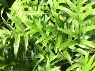 緑の植物の写真・画像素材[955527]