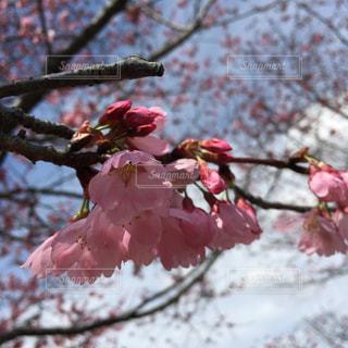 桜 - No.1067911