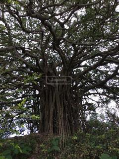 喜界島最大ガジュマルの木の写真・画像素材[952492]