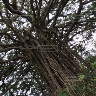 巨大ガジュマル大木全貌の写真・画像素材[952493]