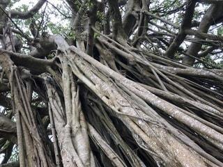 ガジュマル巨大大木の写真・画像素材[952494]