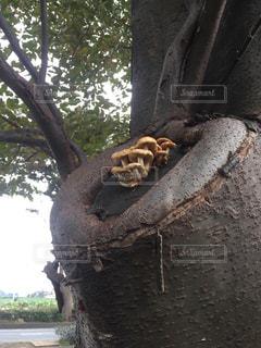木の幹に生えるきのこの写真・画像素材[956252]