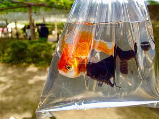 金魚すくいの写真・画像素材[958464]