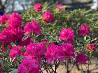 牡丹の花の写真・画像素材[2069489]
