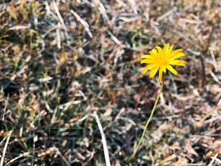 草の中の黄色い花の写真・画像素材[953439]