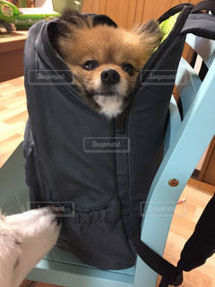 リュックに入る犬の写真・画像素材[954316]