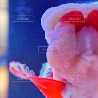 金魚 - No.967850