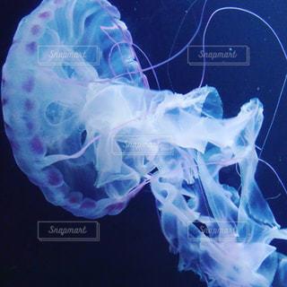 クラゲの写真・画像素材[1016523]