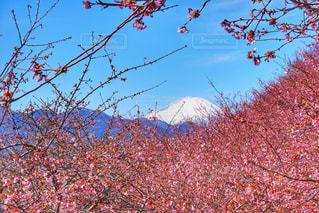桜と富士山 - No.1017968