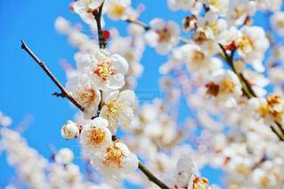 梅の花 - No.1036886