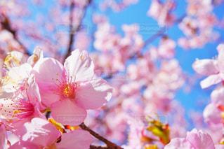 河津桜の写真・画像素材[1038879]