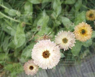 近くの花のアップの写真・画像素材[954489]