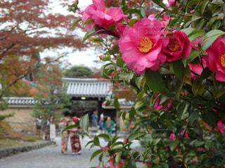 植物にピンクの花の写真・画像素材[956369]