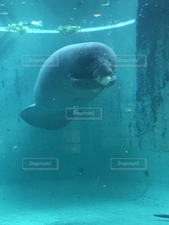 美ら海水族館での一コマ。ジュゴンの写真・画像素材[954620]