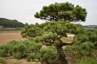 松の盆栽の写真・画像素材[954736]