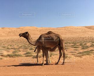 砂漠を歩くラクダの写真・画像素材[955085]