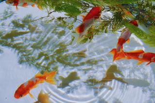 水面下を泳ぐ魚たち - No.955077