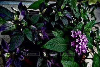 植物の紫色の花と花瓶の写真・画像素材[955230]