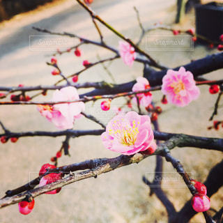 梅の花の写真・画像素材[956043]