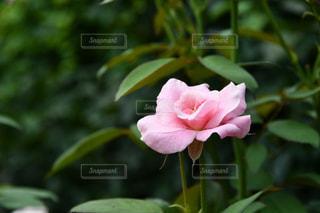 植物のピンクの花の写真・画像素材[2389455]