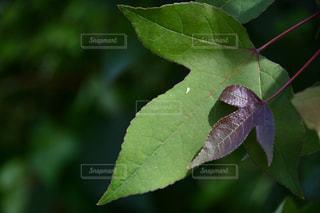 緑の植物のクローズアップの写真・画像素材[2427165]