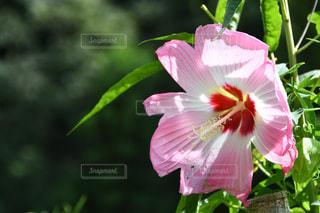 緑の葉を持つピンクの花の写真・画像素材[2427174]