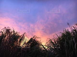 夕焼け サトウキビ畑の写真・画像素材[956478]