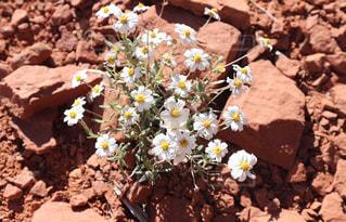 セドナの岩から咲く花の写真・画像素材[1254262]