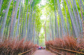 心が研ぎ澄まされる嵐山の竹林の写真・画像素材[1539182]