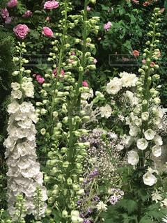 大きな紫色の花は、庭の写真・画像素材[956542]