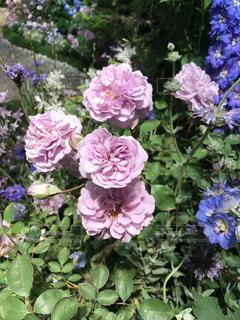 近くに紫の花のアップの写真・画像素材[956543]