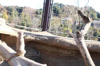 動物園のミーアキャットの写真・画像素材[956723]