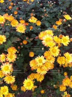黄色い花の写真・画像素材[957701]