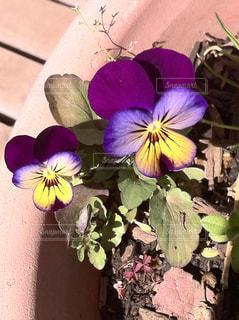 紫と黄色のビオラの写真・画像素材[957707]