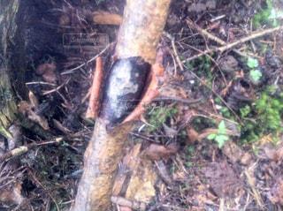 樹海で見つけた怖い木の棒の写真・画像素材[957383]