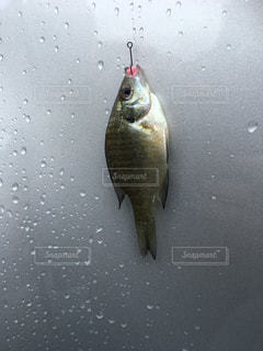 琵琶湖で釣れたブルーギルの写真・画像素材[957568]