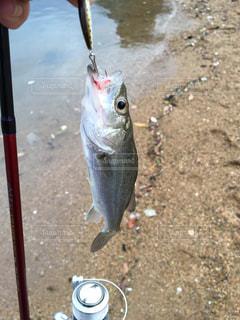 ルアーでシーバス釣りの写真・画像素材[957589]
