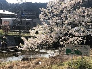 田舎の桜の写真・画像素材[2134397]