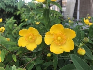 黄色い花の写真・画像素材[2149966]