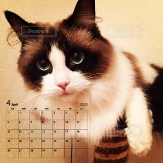 猫とカレンダーの写真・画像素材[3025697]