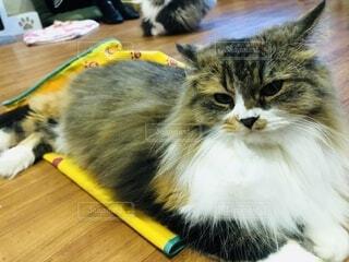 優雅な猫の写真・画像素材[3737287]