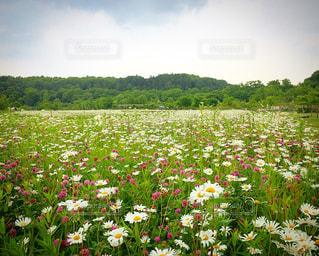 一面に広がる花畑の写真・画像素材[958843]