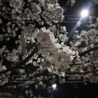 夜桜の写真・画像素材[1097712]